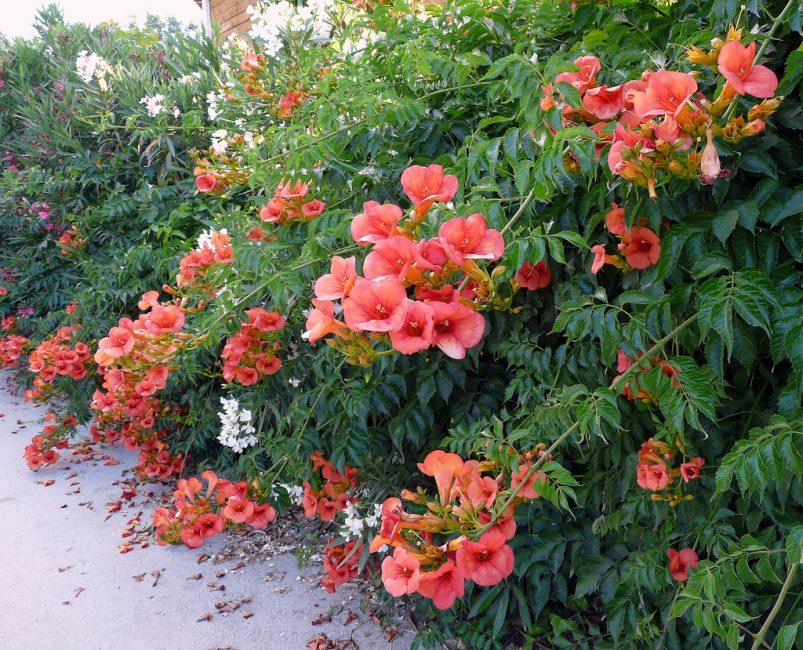 여름에는 꽃가루에 많은 꽃차례가 피어 난다.