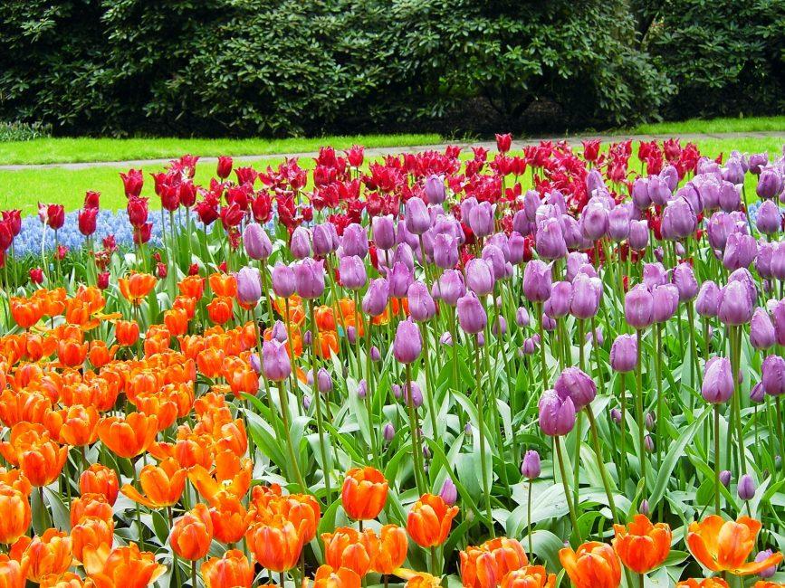 튤립의 꽃 모자이크