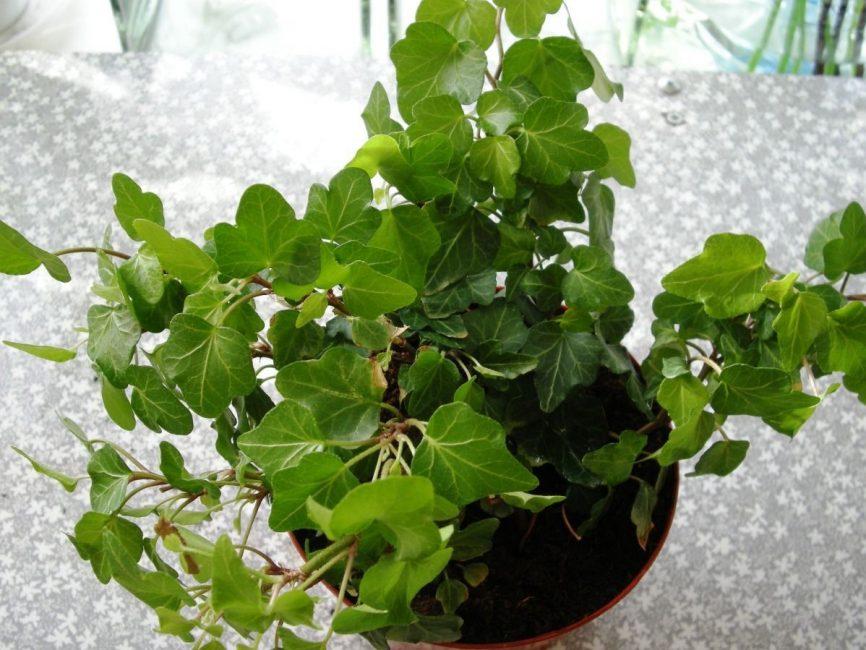 Menyiram ruang dapur dengan tanaman memanjat