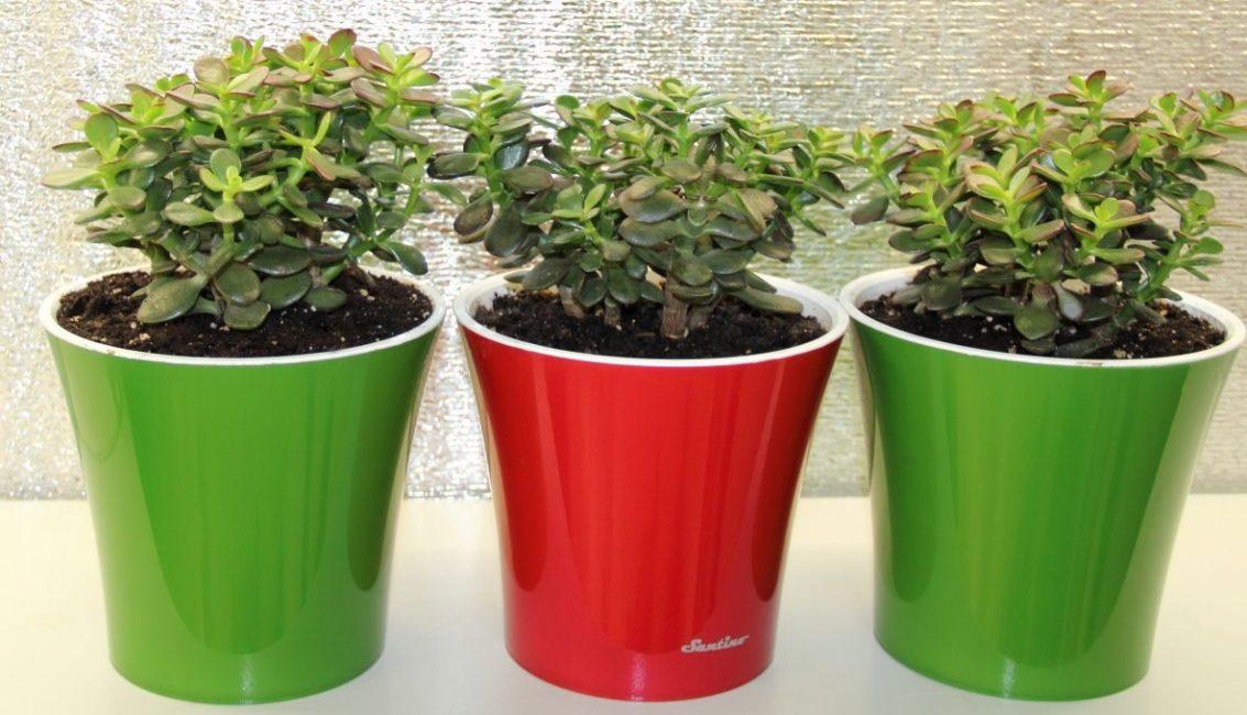 Crassula, bollard atau pokok wang