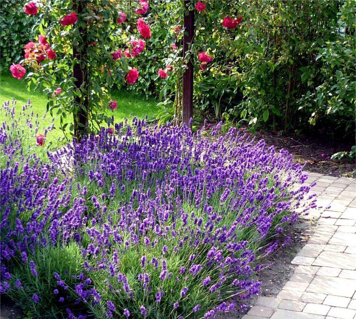 Lavender Kesederhanaan dan daya tarikan dalam satu foto