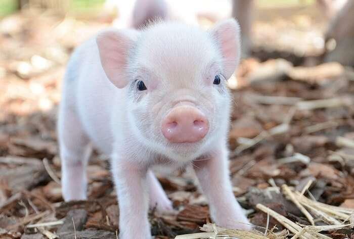 Hadiah berani dalam bentuk babi hiasan