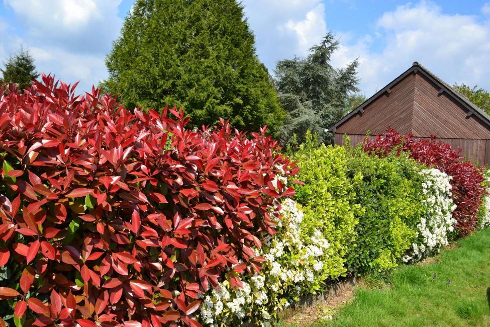 Arbusti decidui sono più comunemente usati per le siepi a crescita libera.
