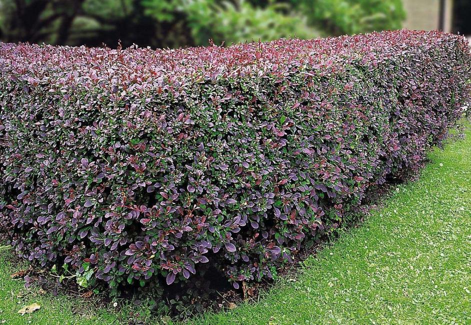 Questi arbusti aggiungeranno un buon umore al tuo cottage.