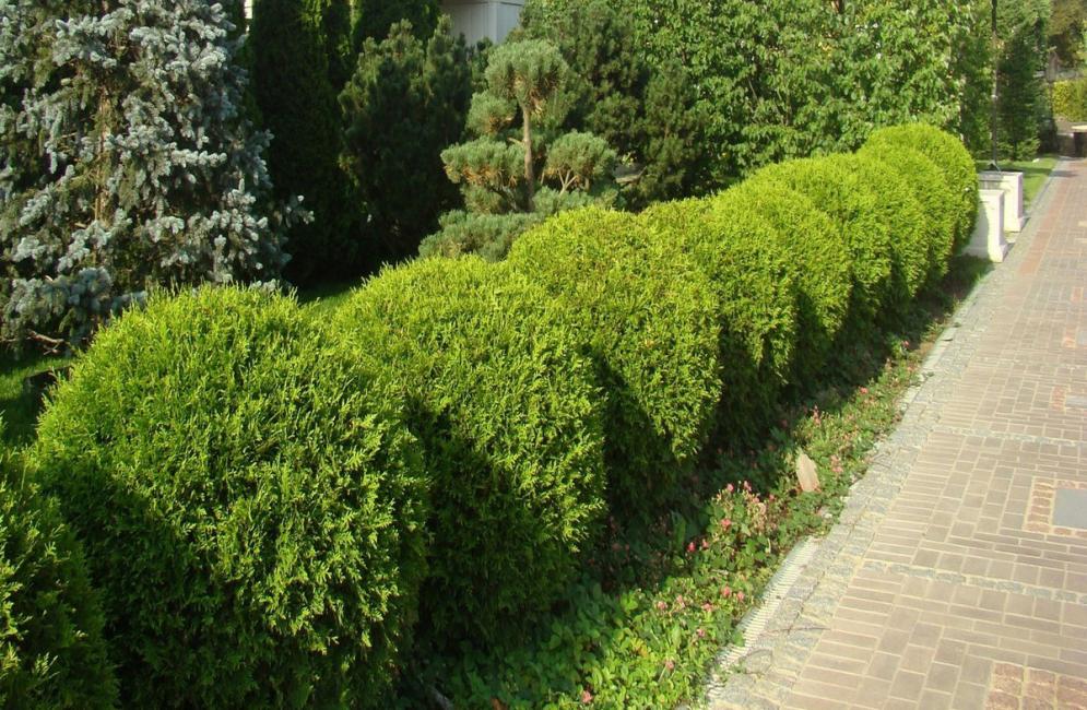 La scelta delle piante per la recinzione è ampia e varia.