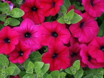 나라를위한 꽃의 카탈로그 (240 + 이름과 사진) : 놀라운 아름다움을 만들기위한 모든 규칙