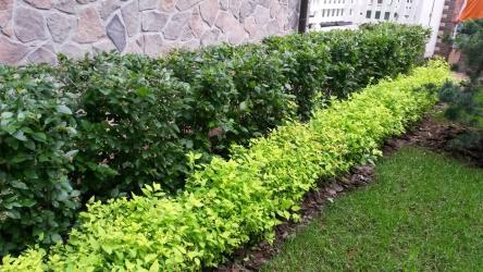 La siepe nel paese - le loro mani: la selezione delle piante, la semina e la cura. A crescita rapida, perenne e sempreverde - che è meglio scegliere? (105+ foto)